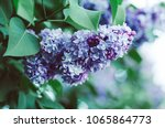 branch of lilac flowers with... | Shutterstock . vector #1065864773