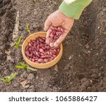 a man's hand planting onions ... | Shutterstock . vector #1065886427