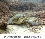 large green turtle sitting on... | Shutterstock . vector #1065896753
