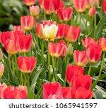One Lone White Tulip Standing...