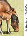 Grazing Horse And Newborn Foal