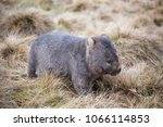 the marsupial wombat of... | Shutterstock . vector #1066114853