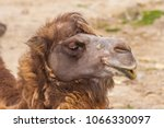 close up of a camel  camelus .... | Shutterstock . vector #1066330097