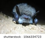 big bat close up | Shutterstock . vector #1066334723