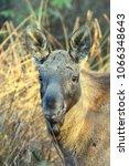 Small photo of Moose- Alces alces (Elk)