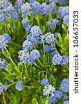 Small photo of This vertical image is of the flowering bush ceanothus impressus 'Victoria', or Santa Barbara mountain lilac with its fragrant blue spike flowers.