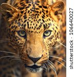 Stock photo leopard portrait 106640027