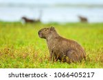 capybara  hydrochaeris...   Shutterstock . vector #1066405217
