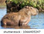 capybara  hydrochaeris...   Shutterstock . vector #1066405247