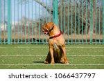 beautiful dog of dogue de... | Shutterstock . vector #1066437797