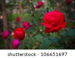 Stock photo bush of red roses 106651697