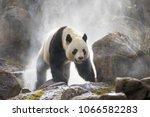 giant panda in the fog   Shutterstock . vector #1066582283