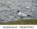black headed gulls ... | Shutterstock . vector #1066625063