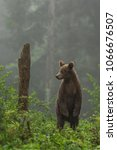 Small photo of Brown bear in Vysoke Tatry mountains in Slovakia - Ursus arctos