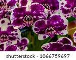 violet moth orchid flowers ... | Shutterstock . vector #1066759697
