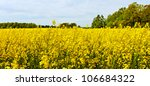 Landscape with yellow canola plants. - stock photo