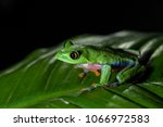 blue sided tree frog  ... | Shutterstock . vector #1066972583