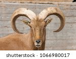 close up of a arrui  or barbary ... | Shutterstock . vector #1066980017