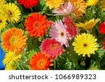 multi color gerbera | Shutterstock . vector #1066989323