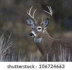 Bust Shot Of Whitetail Buck...