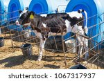 Small photo of Young calf in nursery with calf-house or calf-box at diary farm
