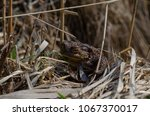 toad during the breeding season ... | Shutterstock . vector #1067370017