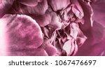 blooming peony closeup | Shutterstock . vector #1067476697