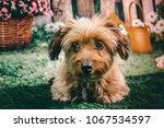 Stock photo super cute puppy dog in a flower garden 1067534597