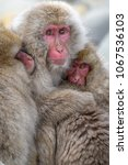 Small photo of Japanese snow monkeys cuddling together
