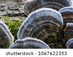 Unedged Mushrooms Growing On A...