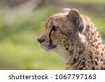 hungry cheetah face in close up ... | Shutterstock . vector #1067797163