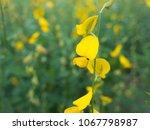 the yellow sunhemp flowers...   Shutterstock . vector #1067798987
