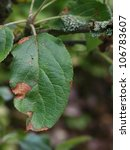 Small photo of Lesions caused by alternaria fungus on diseased apple leaf