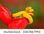 yellow eyelash palm pitviper ... | Shutterstock . vector #1067867993
