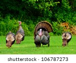 A Group Of Wild Turkeys...