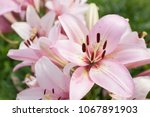 large  beautiful  and pink lily ... | Shutterstock . vector #1067891903