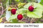 Forest strawberry. Focus on a foreground. - stock photo