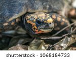 closeup of a red footed... | Shutterstock . vector #1068184733