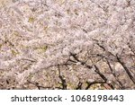 sakura flowers on trees...   Shutterstock . vector #1068198443