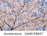 sakura flowers on trees...   Shutterstock . vector #1068198857