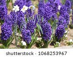 hyacinth and narcissus ... | Shutterstock . vector #1068253967