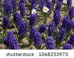 hyacinth and narcissus ... | Shutterstock . vector #1068253973