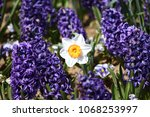hyacinth and narcissus ... | Shutterstock . vector #1068253997