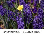 hyacinth and narcissus ... | Shutterstock . vector #1068254003
