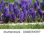hyacinth. field of colorful... | Shutterstock . vector #1068254357