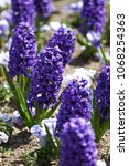 hyacinth. field of colorful... | Shutterstock . vector #1068254363