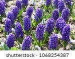 hyacinth. field of colorful... | Shutterstock . vector #1068254387