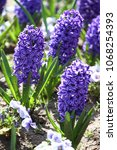 hyacinth. field of colorful... | Shutterstock . vector #1068254393