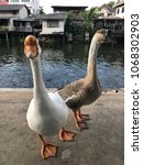 Small photo of Goose living on the canal. Have a habit of tame and cute.