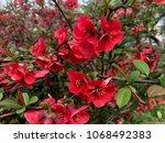Tree Blossoms Of Chaenomeles...